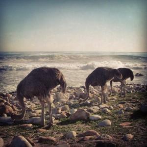 Autruches au bord de l'Océan, près du Cap de Bonne Espérance, en Afrique du Sud