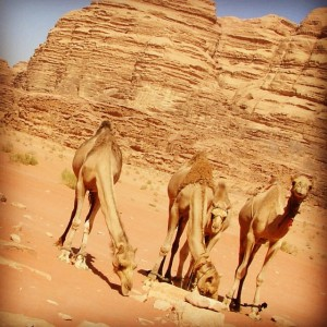 Chameaux à Wadi Rum, dans le désert de Jordanie