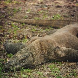Un dragon de Komodo sur l'île du même nom