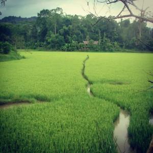 Un champ près de Rantepao dans le Tana Toraja, en Indonésie